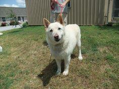 Timber is an adoptable White German Shepherd Dog in Bella Vista, AR. German Shepherd Dogs, Animal Shelter, Husky, Adoption, Crafts, Diy, Animals, Animal Shelters, Foster Care Adoption