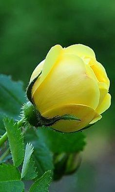 Yellow Rose Bud / Oh how I miss you Aunt Henie . You are so precious to me . Beautiful Flowers Wallpapers, Beautiful Rose Flowers, Exotic Flowers, Pretty Flowers, Beautiful Gardens, Beautiful Images, Blossom Garden, Blossom Flower, Hybrid Tea Roses