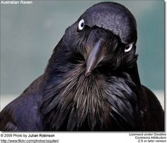 Physical and Behavioral Differences Between Crows and Ravens Species