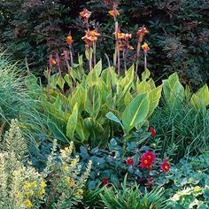 Canna - Large leaves (variegated in many varieties) and glowing flowers in shades of red, orange, yellow, and pink. Name: Canna varieties Size: From 1 foot to 15 feet: Full sun and moist soil Heat Tolerant Plants, Plants, Patio Trees, Rain Garden Design, Outdoor Gardens, Perennials, Container Gardening, Drought Tolerant Plants, Glowing Flowers