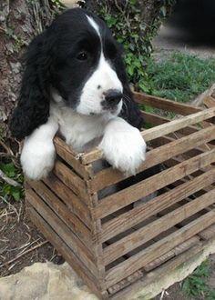 English Springer Spaniel Puppies (johnsonspringers.webs.com) - Nex-Tech Classifieds