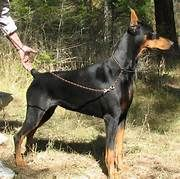 American Doberman, Doberman Pinscher, Horses, Animals, Animales, Animaux, Doberman, Animal, Animais