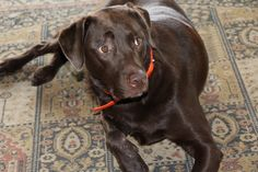 The many things we admire about the The Sporty German Shorthaired Pointer Puppies Gsp Puppies, Pointer Puppies, Puppies Tips, Pointer Dog, Meds For Dogs, Game Mode, The Perfect Dog, German Shorthaired Pointer, Dachshund Dog