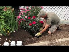 Brad demonstrates how to plant a rose where another rose has been. Learn important things to remember when planting in the summer months, what products we us. Summer Plants, Rose Bush, Green Garden, Summer Months, Planting, Gardening, Outdoor Decor, Flowers, Youtube