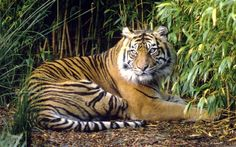 Fewer than 300 tigers remain in the wild in Thailand, according to wildlife group WWFPhoto: Fr dy Mercay/WWF/PA