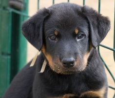 Beauceron - 1 month old Fluffy Puppies, Dogs And Puppies, I Love Dogs, Puppy Love, Animal Antics, Olsen Twins, 1 Month, Baby Dogs, Puppys
