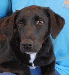 Forsythe is an especially endearing junior puppy who loves everyone -- children, adults, cats, dogs.  He is a tuxedo Labrador Retriever mix puppy, about 7 months of age, now neutered and debuting for adoption at Nevada SPCA (www.nevadaspca.org).  Forsythe is super sweet and playful, and reportedly housetrained and crate-trained.  He needed us when his previous family moved into a home where he was not permitted.  Please visit and ask for Forsythe by name.