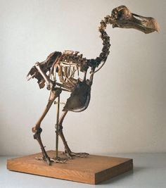 """Dodo (Raphus cucullatus) Skeleton. Mauritius. 26"""" x 12"""" x 25"""" (67cm x 30cm x 63cm). Extinct Circa Mid to Late-17th Century."""