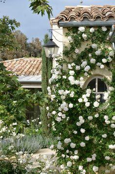 climbing white roses
