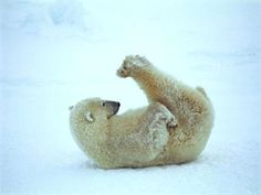 this polar bear showing child like qualities.save the polar cubs. Baby Animals, Funny Animals, Cute Animals, Wild Animals, Baby Pandas, Baby Giraffes, Baby Otters, Animals Images, Bear Pictures