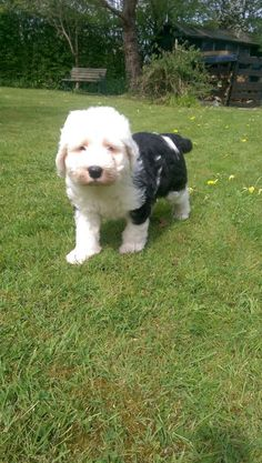 Old English Sheepdog – a lively, intelligent breed with a gentle nature All Dogs, Best Dogs, Dogs And Puppies, Old English Sheepdog, My Happy Place, Funny Dogs, Dog Breeds, Your Dog, Nature