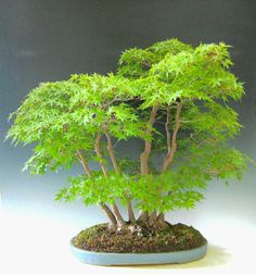 Outdoor Bonsai can be grown in a small area of your garden, and some of the most healthy Bonsai in the world are outdoor Bonsai. Bonsai Tree Types, Indoor Bonsai Tree, Bonsai Plants, Bonsai Garden, Garden Plants, Indoor Plants, Ikebana, Planting Succulents, Planting Flowers