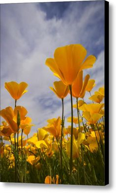 Springtime Poppies  Canvas Print / Canvas Art By Saija  Lehtonen