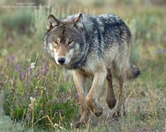 Beautiful Wolf picture from Wolfwatchers
