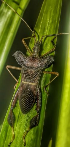 Leptoglossus Leaf-Footed Bug