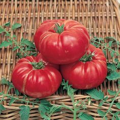 SOLDACKI TOMATO: Poland sends us this heirloom variety, memorable for its low acid and intensely sweet flavor. Dark pink fruits, flattened in shape, weigh about a pound and are packed with firm flesh inside thin skins. Heirloom Tomato Seeds, Heirloom Tomatoes, Hydroponic Farming, Hydroponics, Garden Seeds, Planting Seeds, Types Of Beans, Beefsteak Tomato, Canning Tomatoes