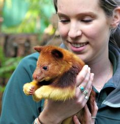 Perth Zoo is celebrating the birth of an endangered Goodfellow's Tree Kangaroo joey, the first to be born there in 36 years. The male joey, which was born the size of a jellybean eight months ago, is