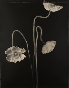Artist: Tom Baril, Silver gelatin print 1997 Location: Compton Goethals Hall Gift of David and Lenore Levy (both Class of 1951 and 1956 MS) Hibiscus, Poppy Images, Experimental Photography, Deco Floral, Botanical Prints, Pretty Flowers, White Photography, Photography Flowers, Abstract Photography