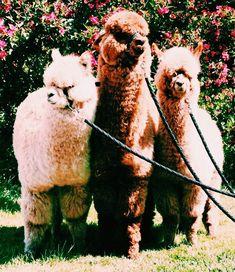 pinterest || кαℓєyнσggℓє Like Animals, Cute Little Animals, Animals And Pets, Baby Animals, Funny Animals, Alpacas, Cute Creatures, Beautiful Creatures, Animal Photography