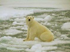 ijsbeer op smeltend ijs