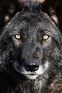 wolf By Darby Sawchuk