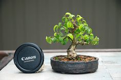 Ficus Forum - Friends Bonsai - Page 12 Bonsai Ficus, Mame Bonsai, Indoor Bonsai Tree, Bonsai Trees, Bonsai Plants, Ficus Ginseng, Outdoor Gardens, Indoor Outdoor, Plantas Bonsai