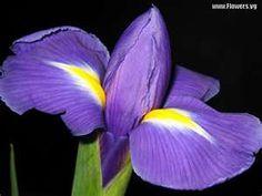 purplr iris...so beautiful
