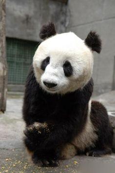 panda  #panda
