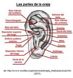 Las partes de la oreja
