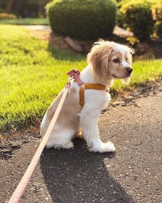 Golden hour walks with my tutu are my favorite cute puppies cocker spaniel puppies Animals And Pets, Baby Animals, Funny Animals, Cute Animals, Cocker Spaniel Puppies, Spaniel Dog, Corgi Puppies, Cute Dogs And Puppies, I Love Dogs