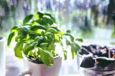 Benefits of basil herb Indoor Vegetable Gardening, Planting Vegetables, Growing Vegetables, Indoor Garden, Indoor Herbs, Herb Garden In Kitchen, Kitchen Herbs, Herbs Garden, Benefits Of Basil