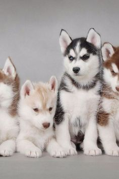 Well hello there babies 16 cute husky puppy pictures puppy pictures, cute puppies, creatures Cute Husky Puppies, Puppy Husky, Siberian Husky Puppies, Rottweiler Puppies, Dogs And Puppies, Siberian Huskies, Huskies Puppies, Baby Huskies, Morkie Puppies