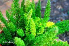 foxtail fern- annual