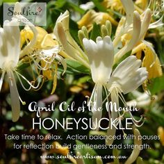 Honeysuckle absolute is April's Oil of the Month. Visit the Soulfire Artisan blog to find out how this oil can help you through the coming weeks. http://ift.tt/2gsNNBH
