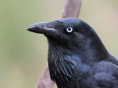 Australian Raven - Corvus coronoides