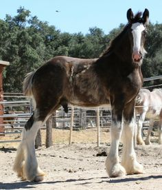 Anything cuter than a Clydesdale foal? Don't think so. Somewhere Farm Clydesdales.