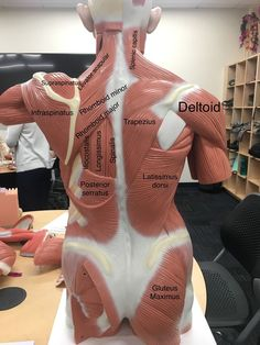 a view of the most superficial posterior muscles of the body – Health Life Human Body Anatomy, Human Anatomy And Physiology, Face Anatomy, Nursing School Notes, Medical Anatomy, Muscle Body, Massage Therapy, Dog Grooming, Craniosacral Therapy