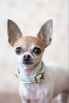 a2772ef6b3b2 Collar perro pippa con nuevo modelo disponible en nuestra web collar para  perro pequeño hecho a medida