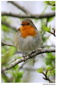 European Robin in Ireland