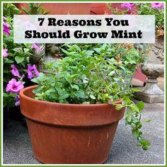 7 Reasons You Should Grow Mint