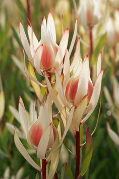 Big Flowers, Flowers Nature, Beautiful Flowers, Blush Flowers, Water Flowers, Australian Native Garden, Australian Native Flowers, Australian Plants, Protea Flower