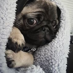 Ready for winter to arrive down under! Photo by @lil_pickles_da_pug  Want to be featured on our Instagram? Tag your photos with #thepugdiary for your chance to be featured.