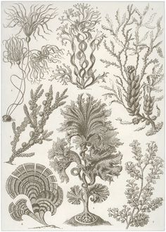 Haeckel, Ernst: Tafel 15: Fucoideae. Brauntange