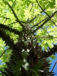 Tree, Culebra, Puerto Rico..