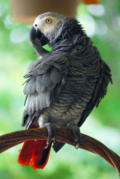 African Grey Parrot...Looks just like my daughter Gizmo