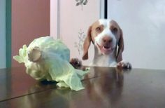 Dog Steals Cabbage