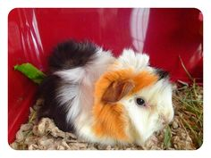I love tri-colored guinea pigs.. their adorable. Even though my guinea pig is adorable too being only 2 colors.