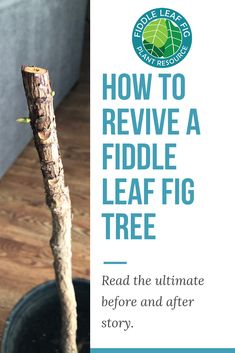 Revive a Fiddle Leaf Fig Nothing is more inspiring for the owner of a fiddle leaf fig tree than a good before and after story! These trees are known for being a bit fussy and developing problems that can reduce them to a leafless stick. Fiddle leaf f Ficus Lyrata, Ficus Elastica, Inside Garden, Inside Plants, Fiddle Leaf Fig Tree, Ficus Tree, Tree Pruning, New Roots, Tree Care