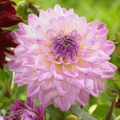 "Dahlia 'Colorful Investment', bhg.com: New from Holland for 2015, this midsize dahlia grows 40"" tall and has baseball size blooms which make excellent cut flowers. #Dahlia"