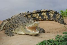 Believe: Crocodiles are real